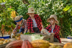 The children to unpack the cocoa pods, Fresh cacao pod cut exposing cocoa seeds, with a cocoa plant, cacao beans fermented in wooden barrels, to maintain the quality of cacao flavor.