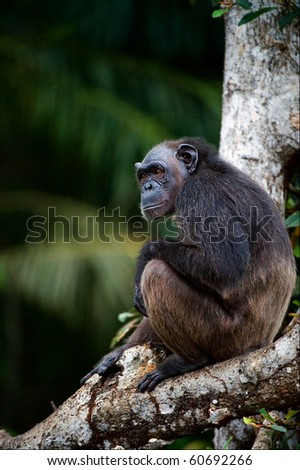 The chimpanzee alone sits on a tree in green jungle.