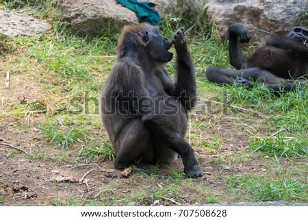 The chimpanzee monkeys in Safari park Ramat Gan, Israel #707508628