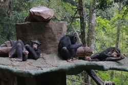 The chimpanzee (Pan troglodytes), also known as the common chimpanzee, robust chimpanzee, or simply