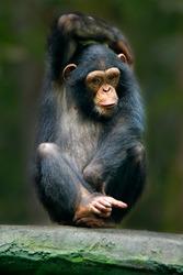 The chimpanzee (Pan troglodytes), also known as the common chimpanzee, robust chimpanzee, or simply
