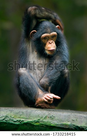 The chimpanzee (Pan troglodytes), also known as the common chimpanzee, robust chimpanzee, or simply 'chimp', is a species of great ape native to the forest and savannah of tropical Africa Сток-фото ©