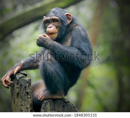 Photo of  The chimpanzee (Pan troglodytes), also known as the common chimpanzee, robust chimpanzee, or simply chimp, is a species of great ape native to the forest and savannah of tropical Africa