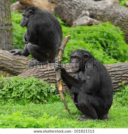 The Chimpanzee with primitive tool or weapon.