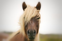 The Chincoteague pony, also known as the Assateague horse, is a breed of horse that developed and lives in a feral condition on Assateague Island in the states