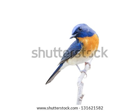 The Chinese Blue Flycatcher (Cyornis glaucicomans) on white background.