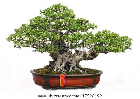 The Chinese bonsai tree of banyan in a pottery pot.