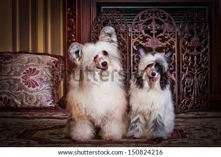 The Chinese Crested dog, chinese feather. In the library, office, books, business, table, interior, fireplace
