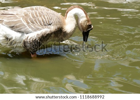 The Chinese goose is find meal in the little pond. in latin name the chinese goose is anser, which is a breed of  domesticated goose descended from the wild swan goose.