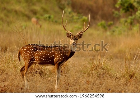 The chital (Axis axis), also known as spotted deer, chital deer, and axis deer, is a species of deer that is native to the Indian subcontinent. It was first described by German naturalist Johann Chris