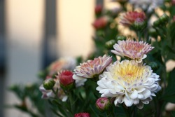 The chrysanthemum blossoms. The first buds open. Petals of flowers light and motley.