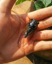 The cicadas are a superfamily, the Cicadoidea, of insects in the order Hemiptera. They are in the suborder Auchenorrhyncha, along with smaller jumping bugs such as leafhoppers and froghoppers.