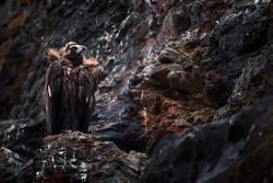 The cinereous vulture (Aegypius monachus) also known as the black vulture, monk or Eurasian black vulture sitting on the nesting place. Wild animal on nesting place in Spain.