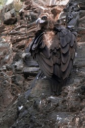 The cinereous vulture (Aegypius monachus), also known as the black vulture, monk vulture, or Eurasian black vulture. Big bird sitting on rock wall and relaxing. Fluffy black feathers. Spain. Pyrenees