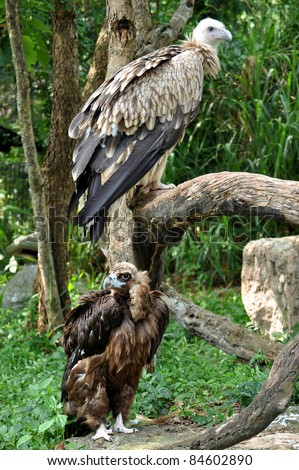 The Cinereous Vulture is believed to be the largest bird of prey in the world. The Himalayan Griffon Vulture is even larger than the European Griffon Vulture.