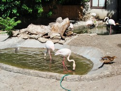 the city of Odessa. Ukraine. 07.10. 2020. Pink flamingos seem to pose in front of the audience with their own dance moves.