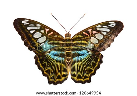 The Clipper butterfly from south east asia with its iridescent blue markings. Isolated against a white background