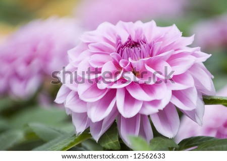 The close shot of bright and beautiful pink dahlia flowers