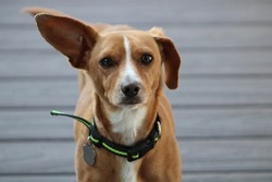 The close up, head shot of a small Chiweenie, a mix of Chihuahua and Dachshund dog breeds. He is wearing a black and green collar, has tan fur, and white markings down his snout.