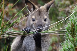 The close-up of Tasmanian Bennett's wallaby or Red-necked wallaby (Macropus rufogreseus) at Cradle Mountain-Lake St. Clair National Park in Tasmania, Australia.