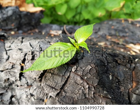 The close-up of young green sprout after fire. New life concept