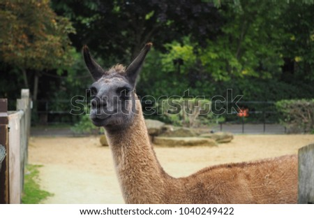 The close-up picture of Alpaca