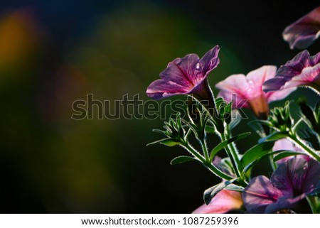 the close-up shot of beach morning glory with dark background