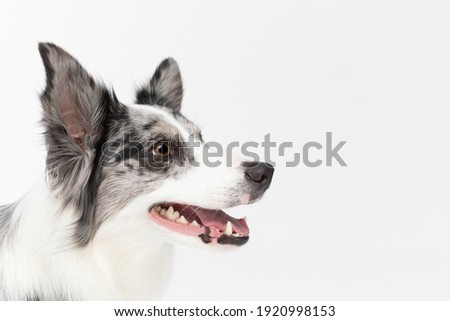 The close-up shot shows the dog's head from the side, staring straight ahead with its mouth open. Border Collie dog in shades of white and black, and long and fine hair. An excellent herding dog. Stock fotó ©