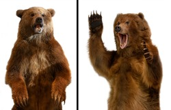 The close up Taxidermy of a Kamchatka brown bear on white background