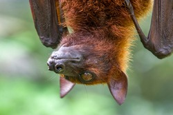 The closeup image of Malayan flying fox (Pteropus vampyrus). a southeast Asian species of megabat, primarily feeds on flowers, nectar and fruit.