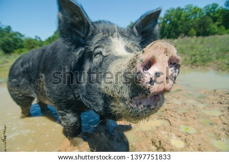 The closeup of a muddy dirty hairy snout of black pig  standing in a puddle in a sunny day