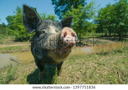 the closeup of a muddy snout of a pig of back color  over the background with the trees, pond and blue sky