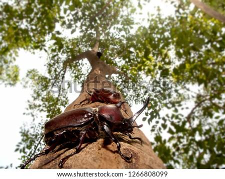 The Closeup Rhinoceros beetle, Rhino beetle, Hercules beetle, Unicorn beetle #1266808099