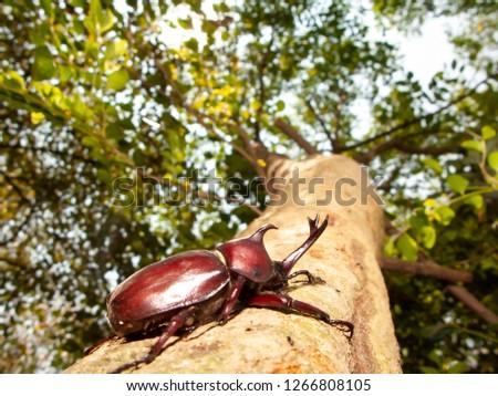 The Closeup Rhinoceros beetle, Rhino beetle, Hercules beetle, Unicorn beetle #1266808105