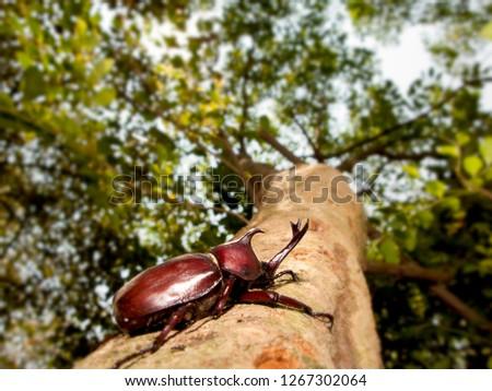 The Closeup Rhinoceros beetle, Rhino beetle, Hercules beetle, Unicorn beetle #1267302064