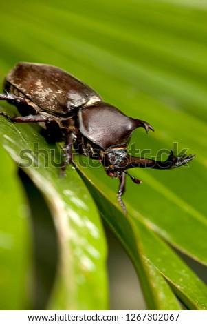 The Closeup Rhinoceros beetle, Rhino beetle, Hercules beetle, Unicorn beetle #1267302067