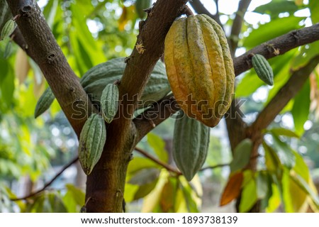 The cocoa tree with fruits. Yellow and green Cocoa pods grow on the tree, cacao plantation in Thailand, Cocoa fruit hanging on the tree in the rainy season, Cacao Tree. Organic fruit pods in nature.