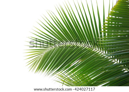 The Coconut palm trees isolated on white background. This has clipping path. #424027117