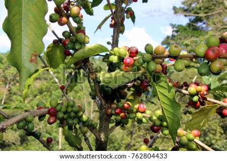 The coffee plant. #762804433