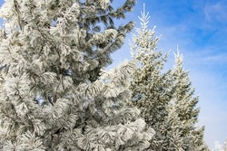 the cold wave covered the trees with hoarfrost. A lot of frost on trees from extreme cold snap, selective focus