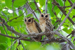 The Collared Scops Owl (Otus lettia) is an owl which is a resident breeder in south Asia from northern Pakistan.