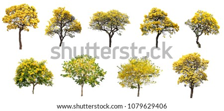 The collection set of isolated golden yellow flower blossom trees on white background for spring and summer season design