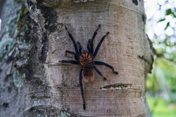 The Colombian lesserblack tarantula, Xenesthis immanis, is a large terrestrial bird spider, with hairy legs and body and a beautiful pattern.