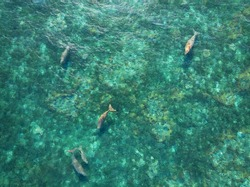 The colony of sea mammals Dugongs (sea cow) swimming and take a breath in the ocean of northern Indonesia. This mammals is protected under international habitat regulation.