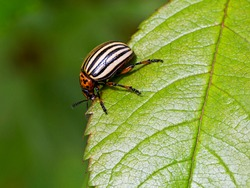 The Colorado beetle. This is the main enemy of potato fields. It is an insect of the leaf beetle family. The back of the adult beetle has a bright yellow-orange hue, black stripes on the wings.