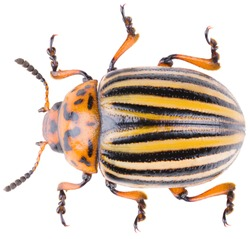 The Colorado potato beetle Leptinotarsa decemlineata, or Colorado beetle, ten-striped spearman, ten-lined potato beetle or the potato bug. Dorsal view of potato beetle isolated on white background.