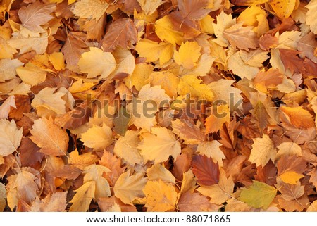 The colorful Autumn Background is made of maple leaves.
