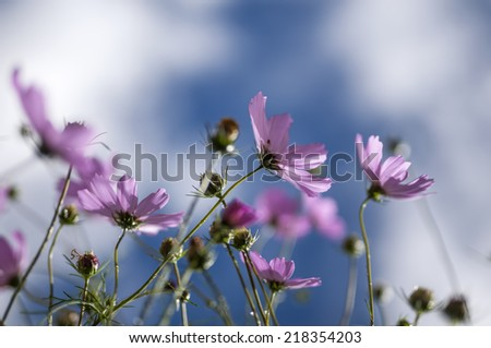 the colorful calliopsis flowers opening under the sky background.