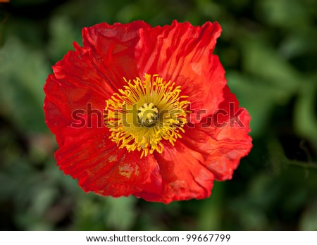 the  colorful corn poppy are opening in spring.