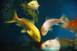 The colorful koi fishes or golden fish swim carefree in the aquarium.